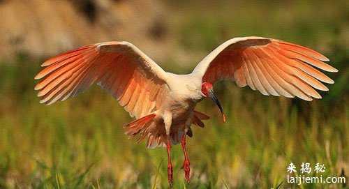 男子非法捕猎领角鸮判刑7年 中国濒危野生动物有哪些17 / 作者:UFO来啦 / 帖子ID:64984