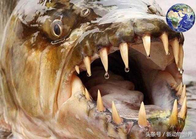 黄金猛鱼:可以撕碎鳄鱼,比食人鱼更凶残!59 / 作者:UFO来啦 / 帖子ID:66255