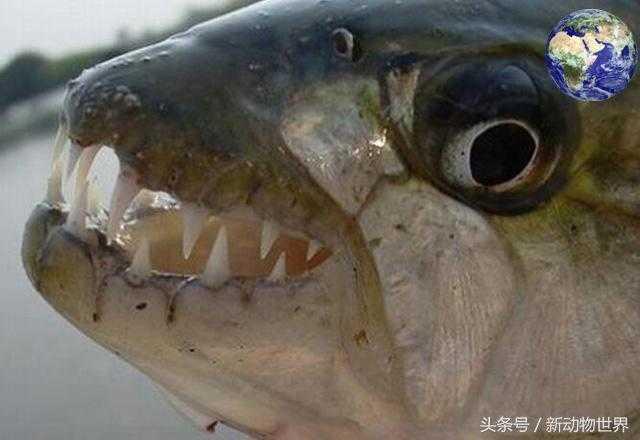 黄金猛鱼:可以撕碎鳄鱼,比食人鱼更凶残!58 / 作者:UFO来啦 / 帖子ID:66255