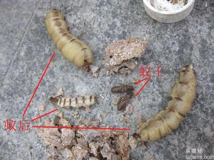 男子挖出巨型蚁穴:活捉30岁蚁后44 / 作者:UFO来啦 / 帖子ID:64981