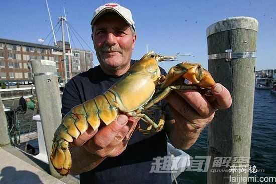 黄色龙虾你见过吗?盘点罕见变异怪兽96 / 作者:UFO来啦 / 帖子ID:66256