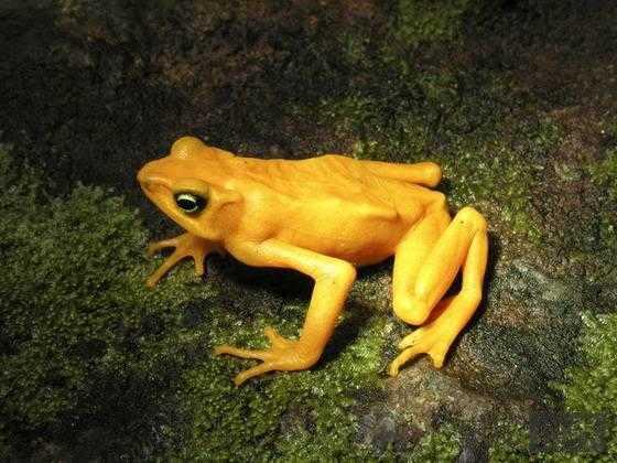 黄金箭毒蛙:世界上最毒的动物78 / 作者:UFO来啦 / 帖子ID:66253