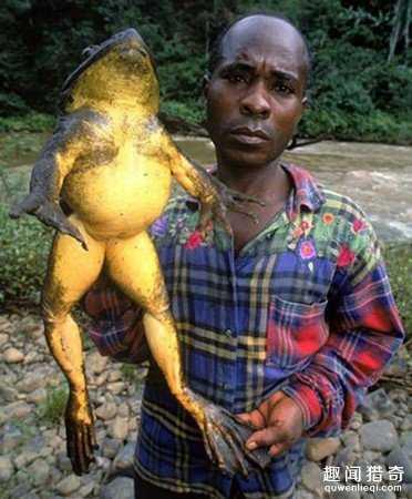 像小孩一样!全球最大青蛙身长1公尺6 / 作者:UFO来啦 / 帖子ID:66402
